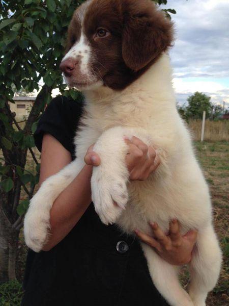 1. Снимка на Българско овчарско куче - продавам