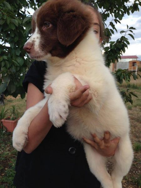3. Снимка на Българско овчарско куче - продавам